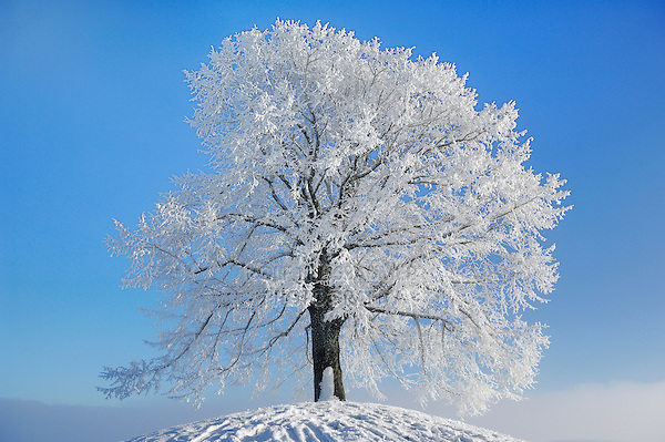 Linden tree (Tilia sp.),bare tree with frost in winter, Switzerland, Europe