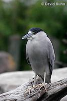 0204-08zz  Black-crowned Night Heron - Nycticorax nycticorax © David Kuhn/Dwight Kuhn Photography