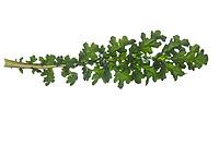 Gewöhnliches Jakobs-Greiskraut, Jakobs-Greiskraut, Jakobsgreiskraut, Jakobs-Kreuzkraut, Jakobskreuzkraut, Jakobskraut, Greiskraut, Senecio jacobaea, Jacobaea vulgaris, Jacobea, ragwort, common ragwort, stinking willie, tansy ragwort, benweed, St. James-wort, Staggerwort. Blatt, Blätter, leaf, leaves
