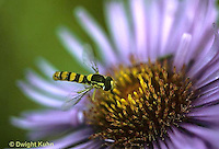 1D03-032z  Flower Fly - (Hover Fly) - pollinating  Aster flower