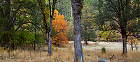 Autumn panorama in California Mixed Conifer forest with Fraxinus latifolia, Oregon ash tree with fall foilage; Castle Crags State Park, Shasta-Trinity National Forest