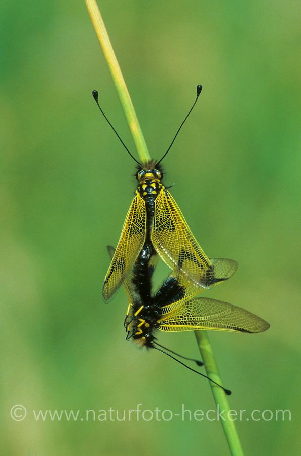 Langfühleriger Schmetterlingshaft, Langfühler-Schmetterlingshaft, Paarung, Kopulation, Kopula, Libelloides longicornis, Ascalaphus longicornis, owlfly, pairing, copula, l'Ascalaphe commun, Ascalaphe ambré, l'Ascalaphe, Schmetterlingshafte, Ascalaphidae, owlflies