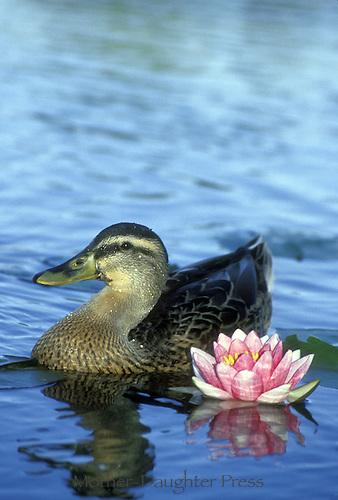 Female Mallard duck Anas platyrhynchos, swimming beside pink water lily