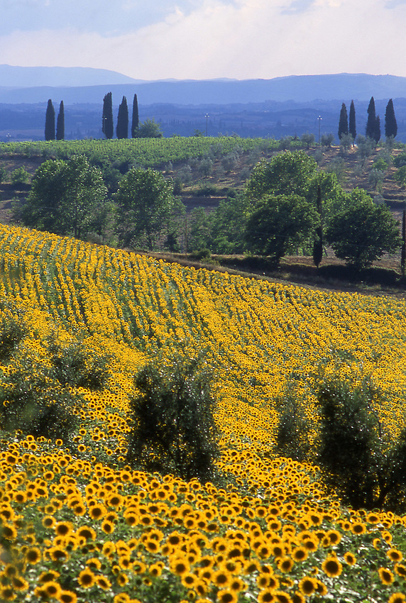 Europe, ITA, Italy, Tuscany, bei Siena, Field of sunflowers in summer, Typical Landscape, Helianthus annuus....[ For each utilisation of my images my General Terms and Conditions are mandatory. Usage only against use message and proof. Download of my General Terms and Conditions under http://www.image-box.com or ask for sending. A clearance before usage is necessary...Material is subject to royalties. Each utilisation of my images is subject to a fee in accordance to the present valid MFM-List...Contact | archive@image-box.com | www.image-box.com ]