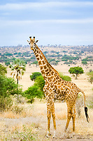 Masai Giraffe, Giraffa camelopardalis tippelskirchi, also known as the Kilimanjaro Giraffe Tarangire National Park, Tanzania, Africa