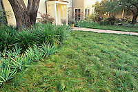 Carex praegracillis meadow lawn. Design: John Greenlee