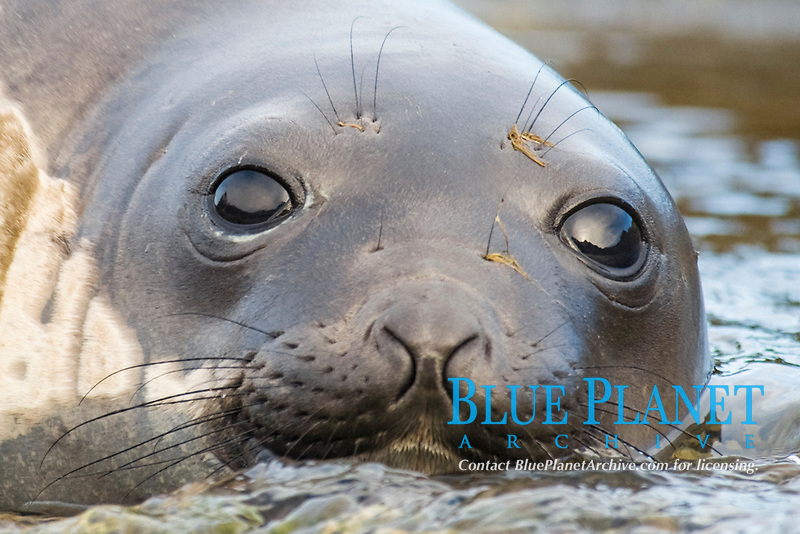 Female Southern Elephant Seal, Mirounga leonina, with the mountains of South Georgia reflected in its eyes, South Georgia, South Atlantic Ocean