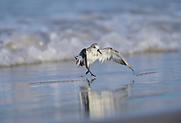 Sanderling (Calidris alba), adult bathing, South Padre Island, Texas, USA