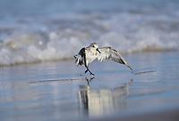 Sanderling (Calidris alba), adult bathing, South Padre Island, Texas, USA