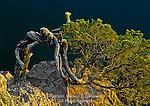 Stunted Eastern Red Cedar, Juniperus virginiana, on Raystown Lake shale barrens, Huntingdon County