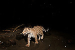 Jaguar (Panthera onca) female yearling cub on beach at night, Coastal Jaguar Conservation Project, Tortuguero National Park, Costa Rica