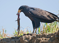 Common black hawk, Buteogallus anthracinus, eating a lizard. Tarcoles River, Costa Rica