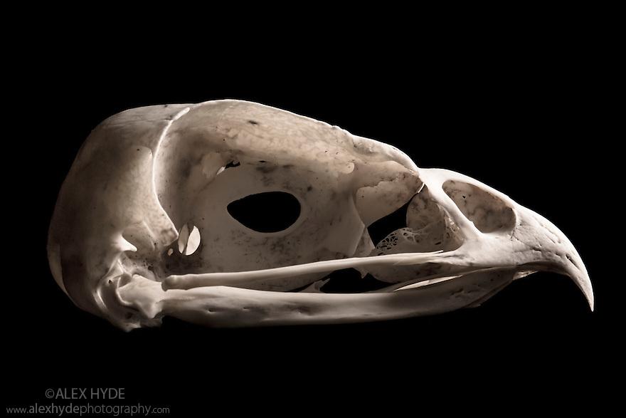 Buzzard (Buteo buteo) Skull. UK
