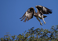 The Martial eagle is one of the world's largest eagles. This individual took off to dive into a family of mongooses. It failed to catch one.