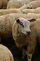 29/09/04 - IMPHY - NIEVRE - FRANCE - Troupeau de brebis croisees Texel et Charolaise - Photo Jerome CHABANNE