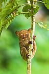 Adult Western Tarsier (Tarsius bancanus). Lowland dipterocarp rain forest, Danum Valley, Sabah, Borneo.