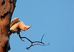A bare-eyed cockatoo, Kimberley region, Western Australia