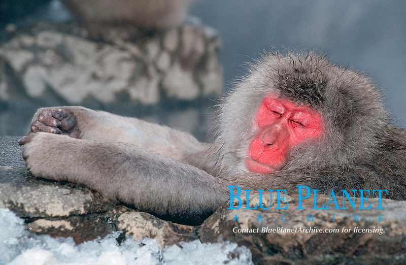 Japanese Macaque, resting in hot water, Hell's Canyon, Japan / (Macaca fuscata)