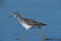 Lesser Yellowlegs, Tringa flavipes, adult running, Bolivar Flats, Texas, USA, May 2005