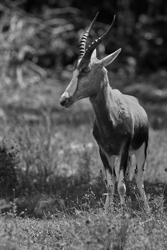 """Thomson's gazelle, or """"tommies"""", have a light coat on top with a distinctive dark stripe on its side. Their horns are long and slightly curved."""