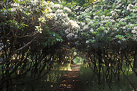 Kalmia latifolia Mountain Laurel allee with path underneath, with shrubs in spring bloom