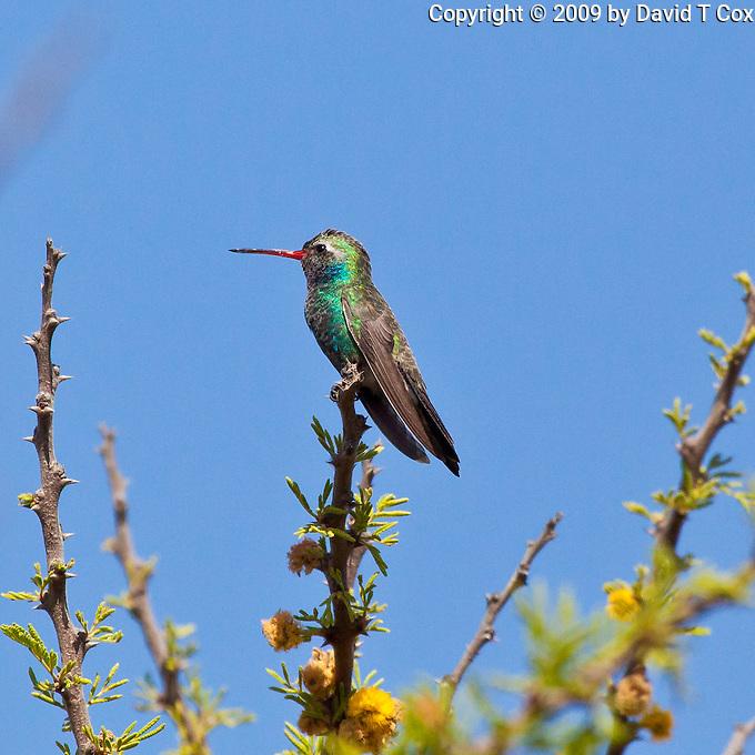 Broad-Billed Hummingbird male, San Miguel, Guanajuato, Mexico