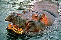 Animais. Mamiferos. Hipopótamos (Hipopotamus amphibius). zológico, SP. Foto de Daniel Augusto Jr.