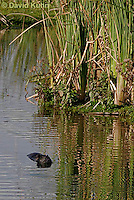 0715-0815  Swimming Nutria (syn. Coypu) in Saltwater Marsh, Myocastor coypus © David Kuhn/Dwight Kuhn Photography