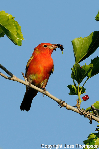Immature Scarlet Tanager, Rockport, Texas
