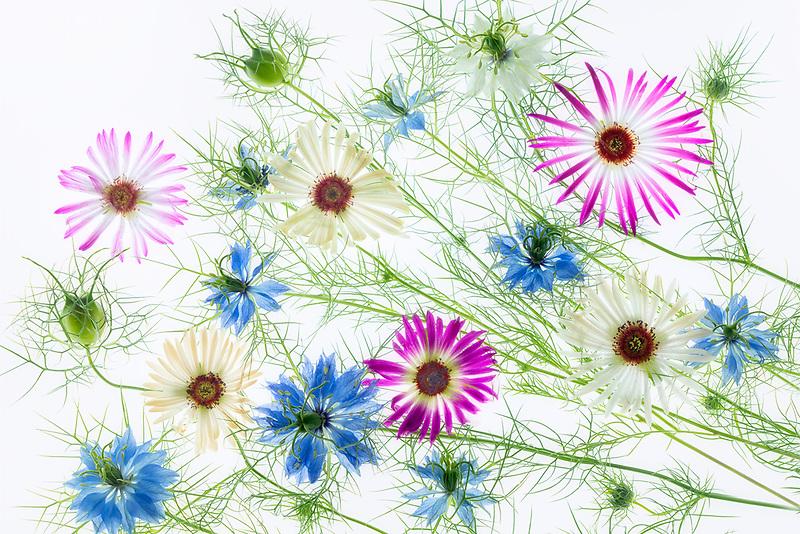 Close up of Flower arrangement. Nigella nad Livingstone Daisy