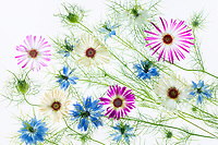 Close up of Flower arrangement. Nigella nad Livingstone Daisy