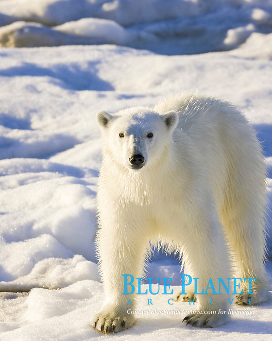 Polar bear (Ursus maritimus) on multi-year ice floes in the Barents Sea off the eastern coast of Edgeoya (Edge Island) in the Svalbard Archipelago, Norway., polar bear, Ursus maritimus