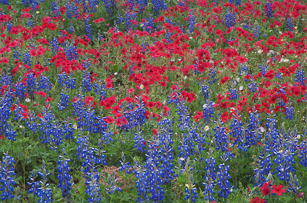 Wildflower field with Texas Bluebonnet (Lupinus texensis) and Drummond's Phlox (Phlox drummondii), Gonzales County, Texas, USA, March 2007