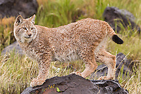 Siberian Lynx standing on a boulder in the rain - CA