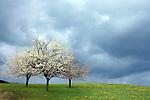 Europa, DEU, Deutschland, Hessen, Odenwald, Reichelsheim, Frühling, Baumblüte, Obstbaum.  Kategorien und Themen, Natur, Umwelt, Landschaft, Jahreszeiten, Stimmungen, Landschaftsfotografie, Landschaften, Landschaftsphoto, Landschaftsphotographie, Wetter, Himmel, Wolken, Wolkenkunde, Wetterbeobachtung, Wetterelemente, Wetterlage, Wetterkunde, Witterung, Witterungsbedingungen, Wettererscheinungen, Meteorologie, Bauernregeln, Wettervorhersage, Wolkenfotografie, Wetterphänomene, Wolkenklassifikation, Wolkenbilder, Wolkenfoto<br /> <br /> [Fuer die Nutzung gelten die jeweils gueltigen Allgemeinen Liefer-und Geschaeftsbedingungen. Nutzung nur gegen Verwendungsmeldung und Nachweis. Download der AGB unter http://www.image-box.com oder werden auf Anfrage zugesendet. Freigabe ist vorher erforderlich. Jede Nutzung des Fotos ist honorarpflichtig gemaess derzeit gueltiger MFM Liste - Kontakt, Uwe Schmid-Fotografie, Duisburg, Tel. (+49).2065.677997, archiv@image-box.com, www.image-box.com]
