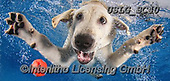 REALISTIC ANIMALS, REALISTISCHE TIERE, ANIMALES REALISTICOS, dogs, paintings+++++SethC_Lab_Reason_IMG_4380work7BOOK,USLGSC40,#A#, EVERYDAY ,underwater dogs,photos,fotos ,Seth