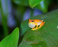 yellow treefrog, small-headed treefrog, or yellow cricket treefrog, Dendropsophus microcephalus, male, calling, in tropical rainforest, Tarcoles, Puntarenas, Costa Rica, Central America