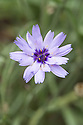 Catananche caerulea, mid August. Commonly known as Cupid's dart, blue cupidone, and cerverina.