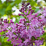 Lilacs in bloom at the Arnold Arboretum, part of Boston's Emerald Necklace in the Jamaica Plain neighborhood of Boston, MA, USA
