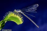 CA13-026b  Venus Fly Trap - damselfly prey on trap, carnivorous plant - Dioncea muscipula