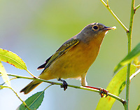 Nashville warbler with insect