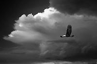 bald eagle,storm,thunderstorm,cloud,clouds,rain