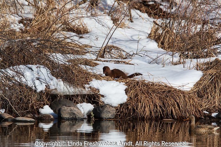 American mink hunting along the banks of the Chippewa River in northern Wisconsin.
