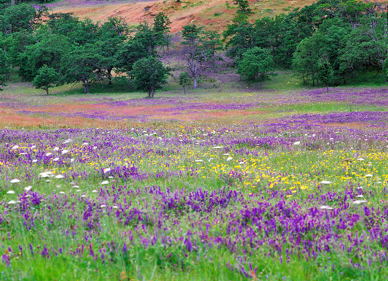 Purple vetch and wildflowers at Rowena Dell. Columbia River Goge National Scenic Area. Oregon