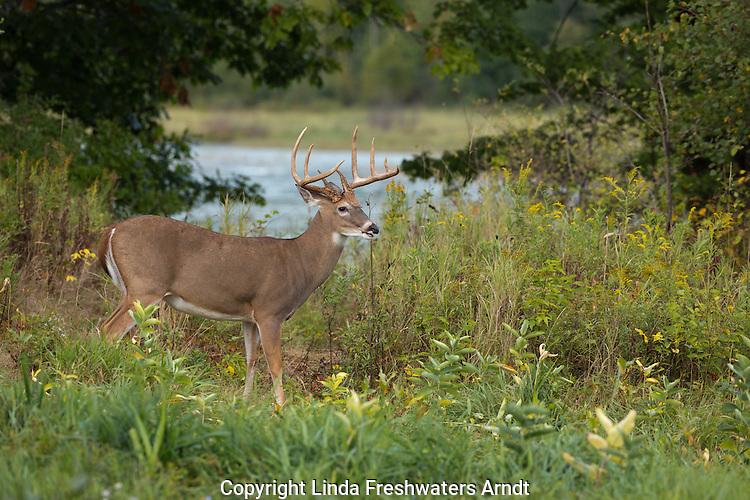 White-tailed buck in September