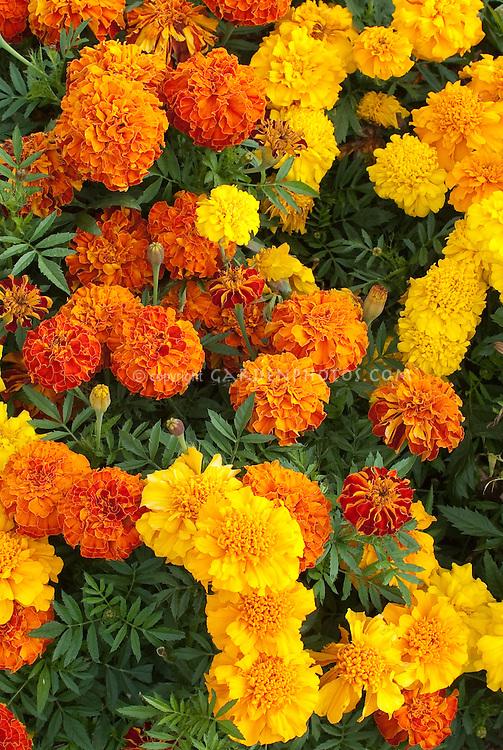Marigolds Tagetes (Afro-French marigold) Zenith Mixed