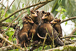 Common Opossum (Didelphis marsupialis) mother with joeys in tree, Tortuguero National Park, Costa Rica