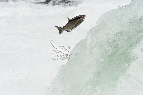 Chinook or King Salmon (Oncorhynchus tshawytscha) jumping waterfall.  Pacific Northwest.