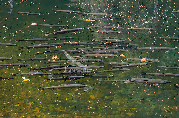 Wild Summer Steelhead Salmon (Oncorhychus mykiss) resting in cool pond waiting to spawn in the winter.  Pacific Northwest stream.  August.  These are not hatchery fish.  Lots of leaves and fir tree needles floating on stream surface.