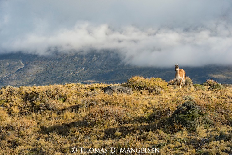 A Guanaco perches on top a rocky ridge in Patagonia, Chile.